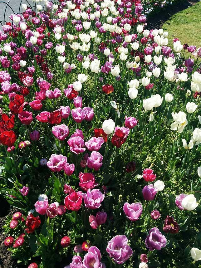 Tulips_Bendigo