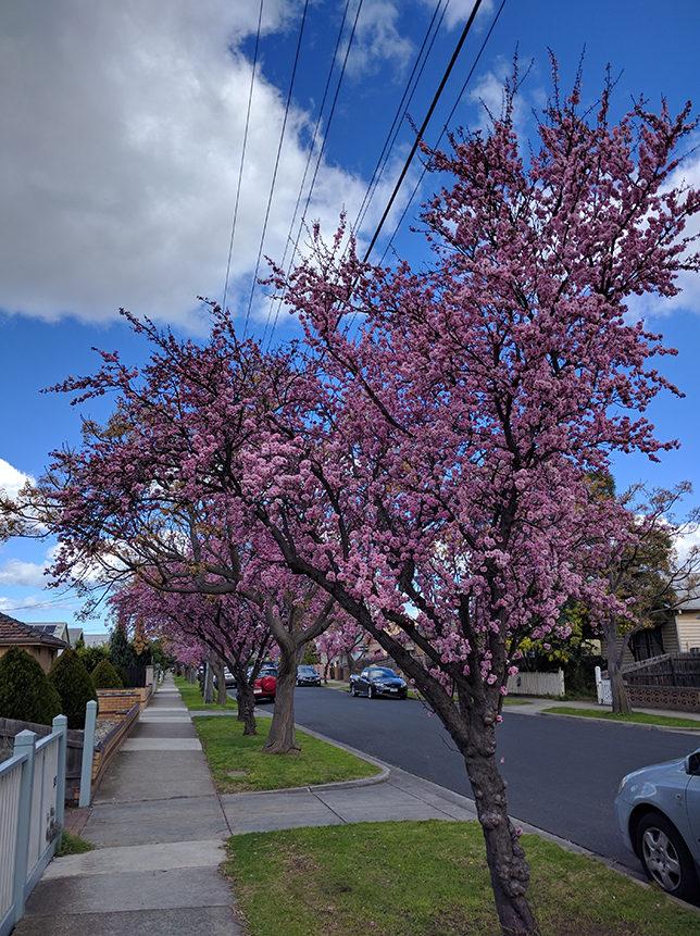 spring plum tree blossoms